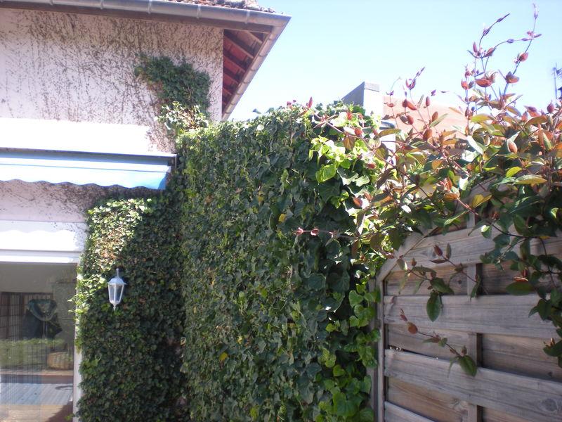 dom 39 easy r alisations taille de haie enlever du lierre sur un mur taille de forsythia. Black Bedroom Furniture Sets. Home Design Ideas