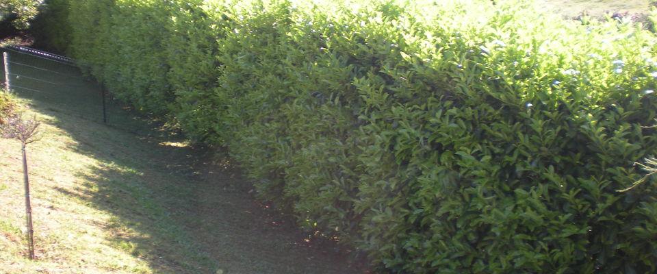 Dom 39 easy r alisations taille de haie de lauriers et for Devis tonte pelouse