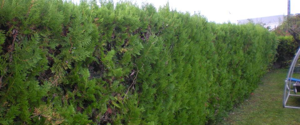 Dom 39 easy r alisations taille de haie de thuyas cypr s for Devis tonte pelouse